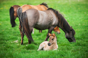 Icelandic horses graze on a green meadow