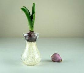 Young Hyacinth bulb in glass vase on the table. Workspace, Planting spring flowers. Gardening decoration