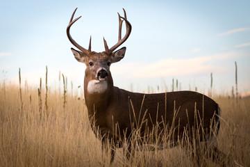 Poster Deer Whitetail Buck Portrait