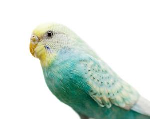 green budgerigar isolated