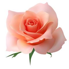 Реалистичная розовая роза, бутон