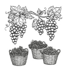 Grape branches and grapes in baskets.