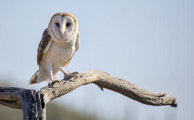 Common barn owl (Tyto alba) #2 Fototapete