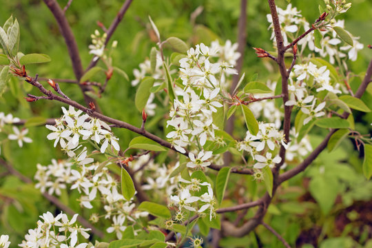 """Spring flowering """"Amelanchier canadensis"""". Other names: shadbush, shadwood;  Canadian serviceberry, chuckleberry, currant-tree."""