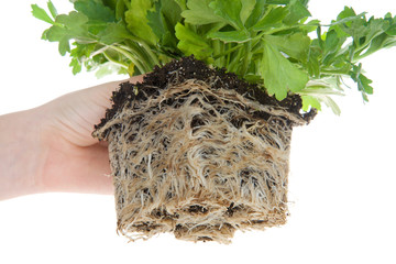 Ranunculus flower, root bound. As plants grown in containers mature, their developing roots eventually will run out of space. When this happens, the plant becomes root-bound