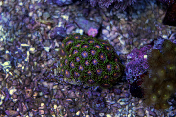 Zoanthids polyps coral in marine aquarium tank
