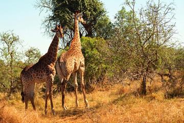 South African giraffes, Mkhaya Game Reserve, Swaziland