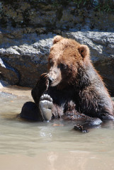 Grizzly Bear Licking His Paw While Seated in a Muddy River