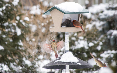 Beautiful northern cardinals playing in the snow ,North American bird, genus Cardinalis scientific name Cardinalis cardinalis
