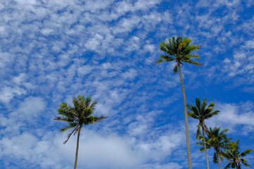Coconut tree and beautiful nature at sunny day with cloudy blue sky background