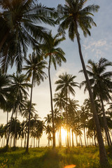 Coconut plant with sunset