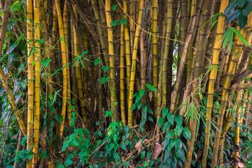 Yellow bamboo groove with bush photo taken in Kebun Raya Bogor Indonesia