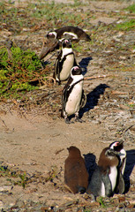 African penguins, The Boulders, South African Republic
