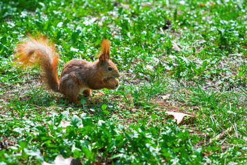 squirrel with a nut sittins in green grass in the spring forest