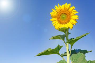 beautiful sunflowers with blue sky