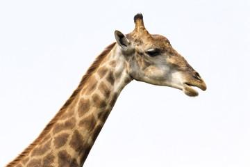 Image of a giraffe head on white background. Wild Animals.