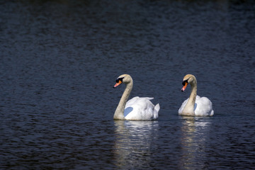 Image of a swan on the water. Wild Animals.