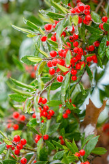 Ice Holly Tree with Red Berries