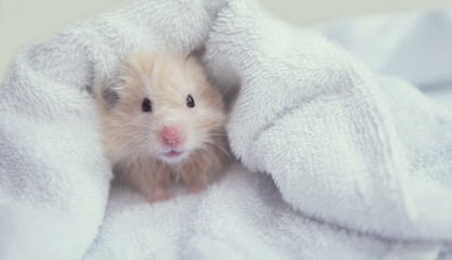 The hamster in the towel.