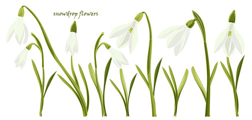 Set beautiful snowdrop flowers