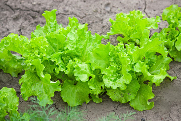salad leaves in the garden