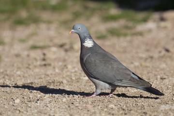 Bird, wood pigeon