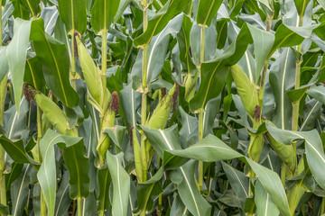 Espigas de milho verde na plantação.