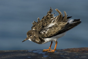 A Ruddy Turnstone shakes out its feathers and looks fluffed up on a sunny day with a smooth blue background.