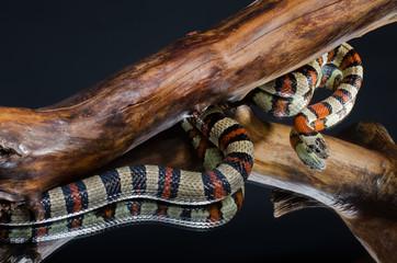 Milk snake on the branch, mirror