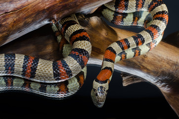 Milk snake on the branch, mirror