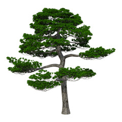 3D Rendering Japanese Pine Tree on White