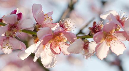 Wall Mural - Glückwunsch, Alles Liebe: Duftende, zarte Mandelblüten  vor blauem Frühlingshimmel :)