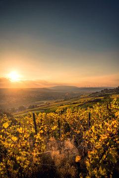Golden Autumn Vineyard