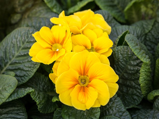 Spring yellow Primula