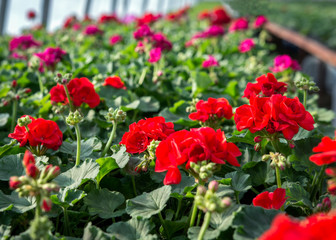 Colorful potted geraniums culture