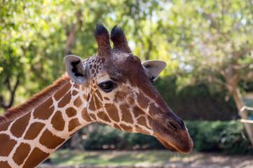 Close up portrait of Masai giraffe, the long neck of the giraffe