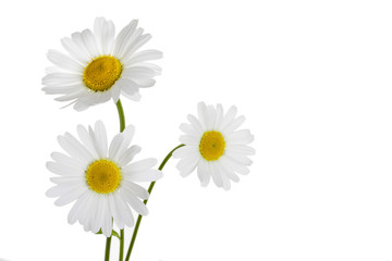 Fllowers of camomile isolated on white background