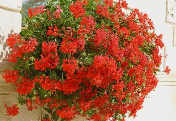 Jardinières de géranium lierre