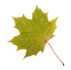 Green autumn maple leaf, isolated on white background, close-up,