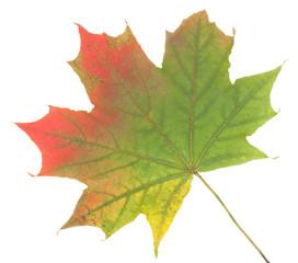 Colorful autumn maple leaf, isolated on white background, close-