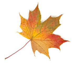 Colorful autumn maple leaf, isolated on white background, close-