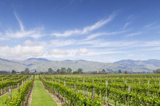 Marlborough Vineyard New Zealand