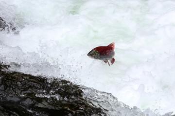 Salmon jumping upstream for spawning, Russian River Falls, Kenai Peninsula, Alaska