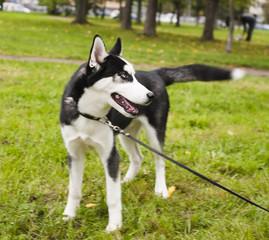 husky dog outside on a leash walking, green grass in park