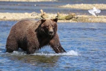 Alaskan brown bear (grizzly bear) standing in the riverbed, looking, seagulls around, Moraine Creek, Katmai National Park, Alaska