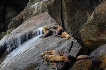 Group of Stellar sea lions resting on rocks, Kenai Fjords National Park, Alaska
