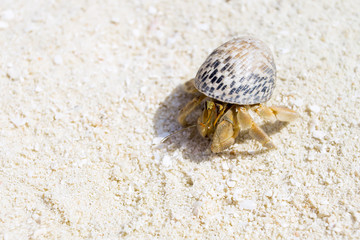Hermit Crab, Soldier Crab, Diogenes-crab at white sand