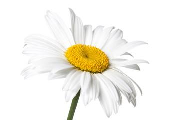 Floral motif wallpaper. Beautiful white daisy