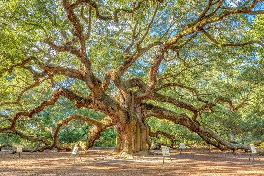 charleston's magical angel oak tree, one of the oldest live oak in USA