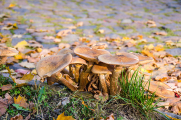 Honey fungus clump